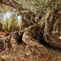El olivo más viejo